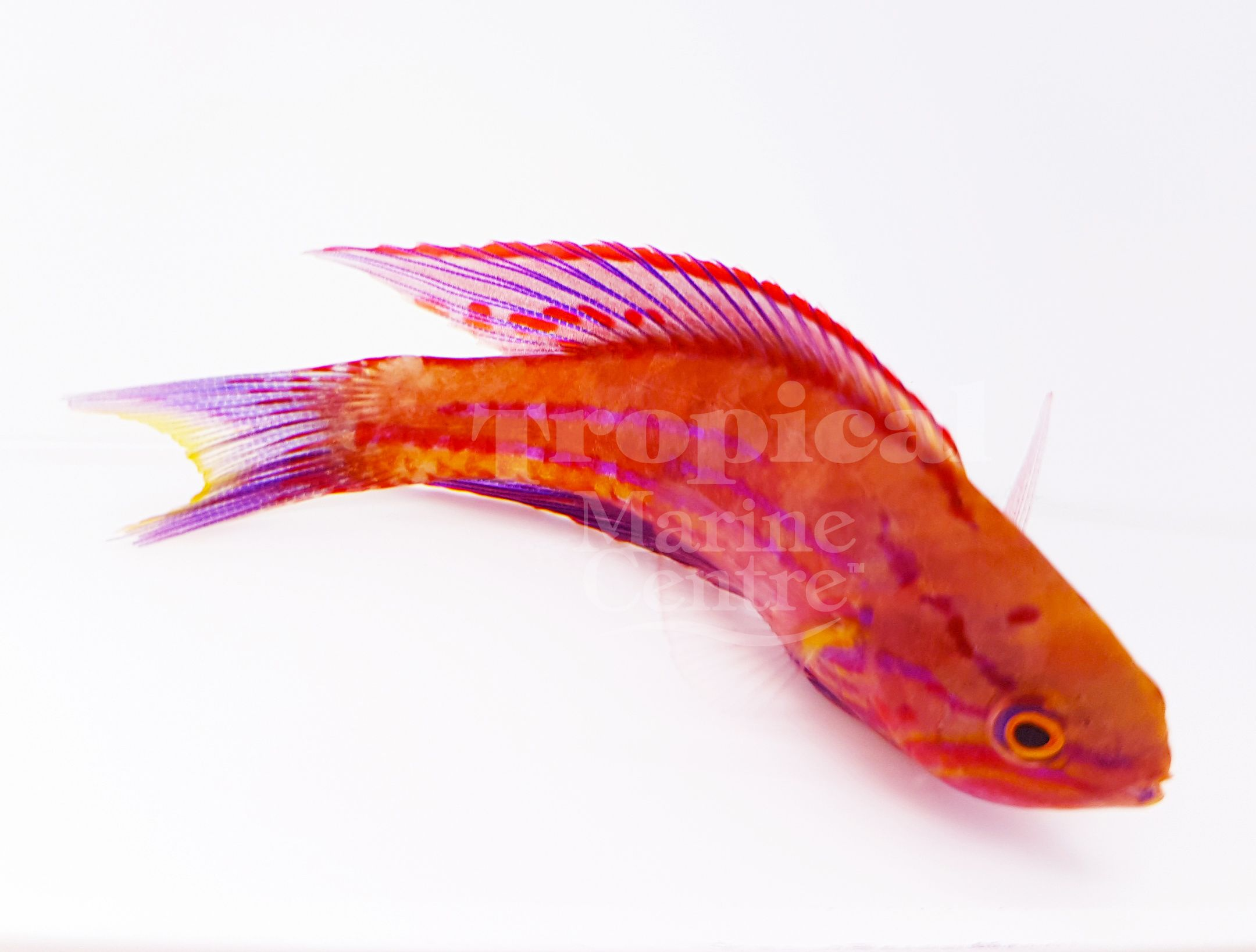 Royal Flasher Wrasse (Paracheilinus angulatus) Males are usually ...