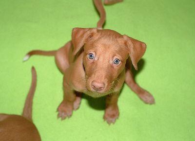 Pharaohhound Anup Anubis Love Hunde Und Tiere