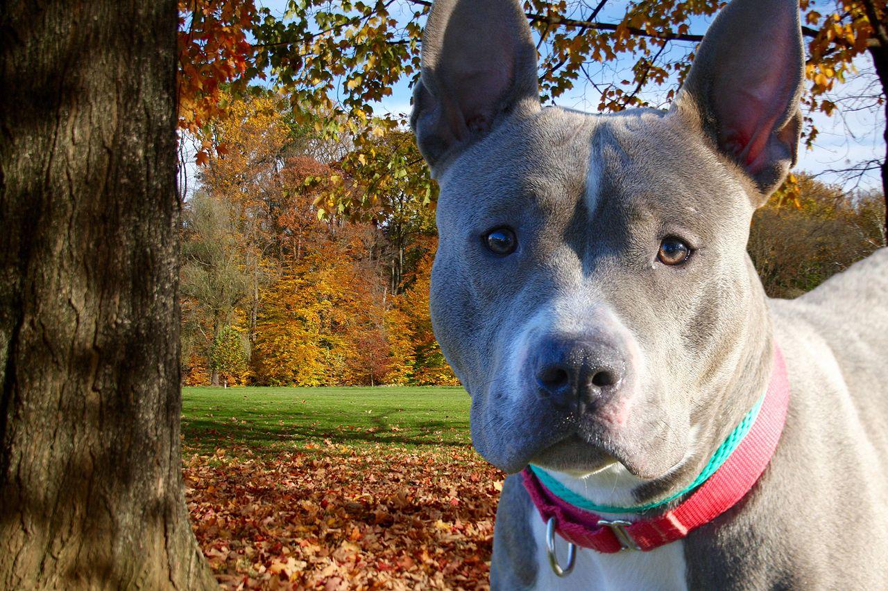 Adopt Nicole On Pitbull Terrier Dog Lovers Poor Dog