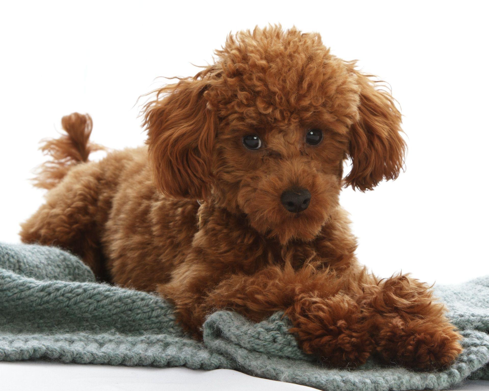 Adorable Poodle Muddypawstudio Com Poodle Teddy Bear Animals