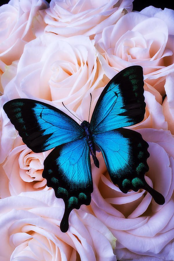Soft Blue Butterfly by Garry Gay