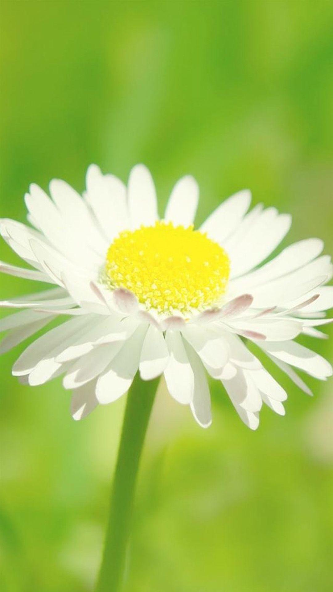 Sunny Daisy Flower Macro iPhone 6 plus wallpaper