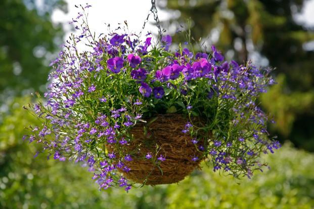 Kwiaty Balkonowe Najpopularniejsze Rosliny Balkonowe Zwisajace Zdjecia Kwiatow Hanging Flower Baskets Plants For Hanging Baskets Garden Spheres