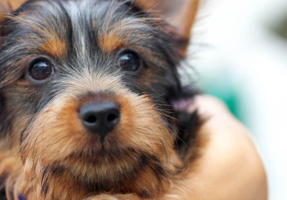 Silky Terrier woof woof Terrier dog breeds, Terrier