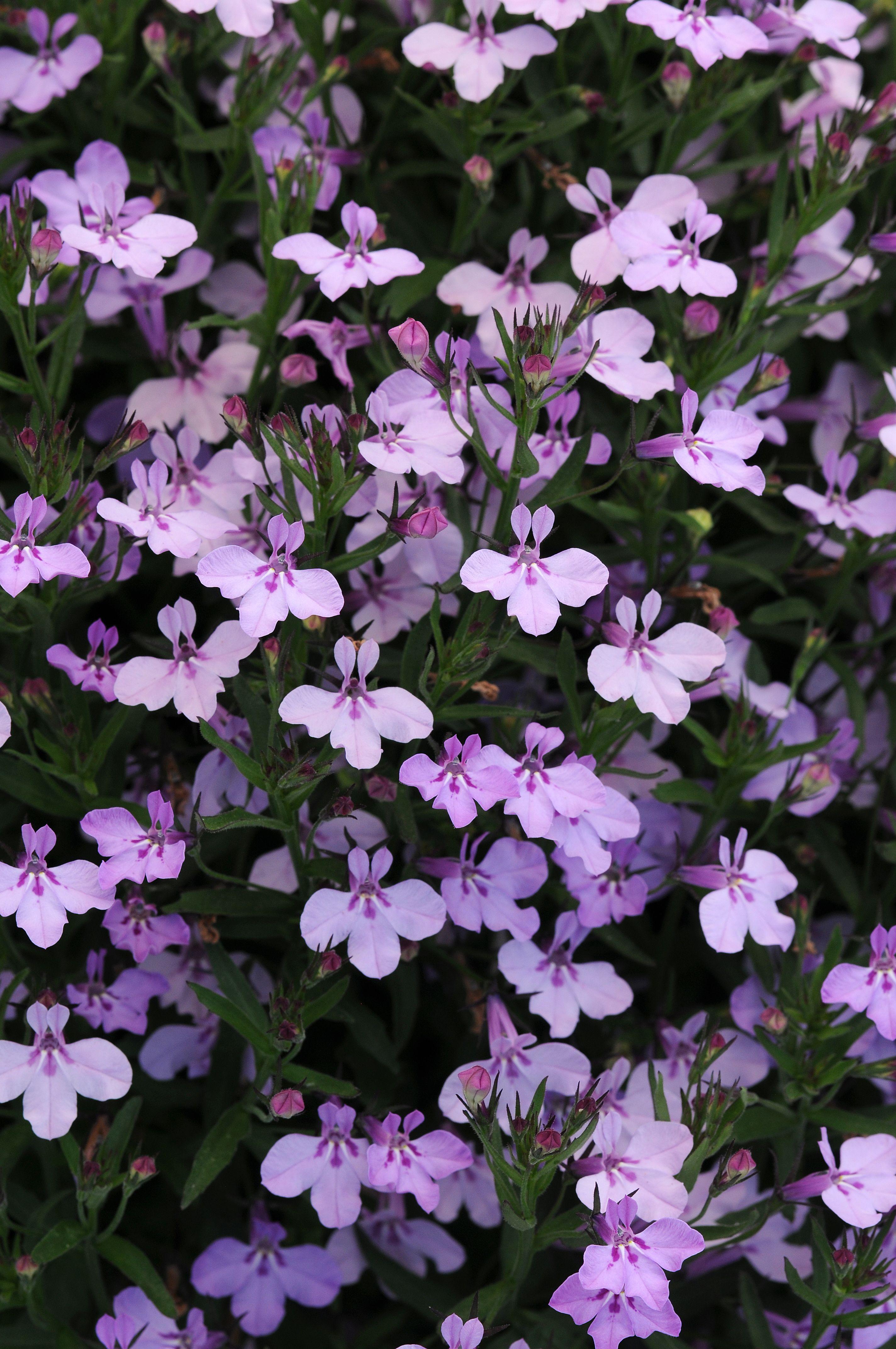 Lobelia Hot Springs Lavender Pink Ball Horticultural Co Spring