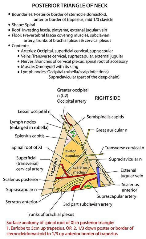 Instant Anatomy Head And Neck Nerves Cranial Xi Spinal