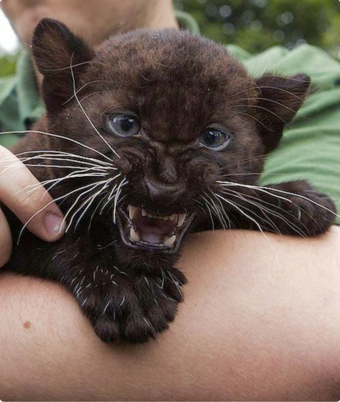 332654e6b Baby black panther. Even when it's angry, it's cute. | adorable ...