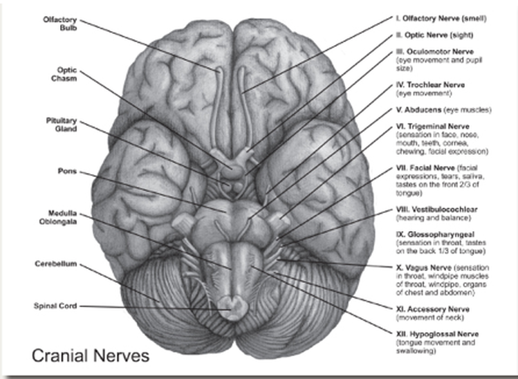Cranial Nerves And Swallowing Clinical Implications Slp Speech