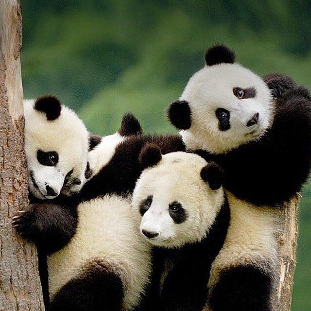 Who doesn't love pandas!!
