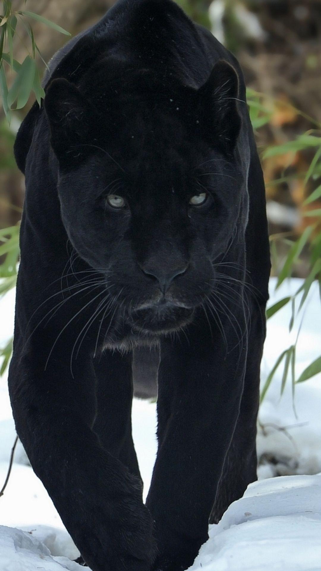 Animal Black Panther Cats Mobile Wallpaper Panther cat