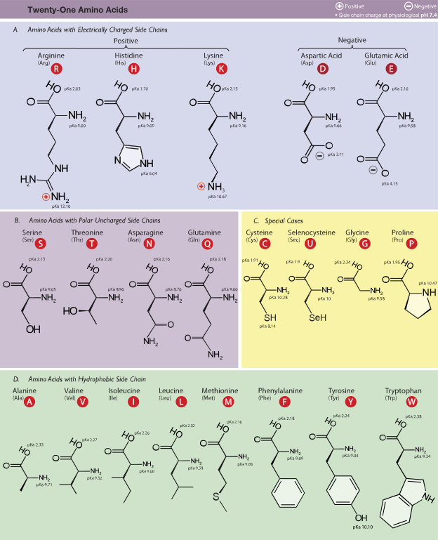 Table Of Amino Acids  Periodic Table    Chemistry