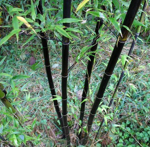 Permaculture Plants: Bamboo --Great info on how to best use bamboo