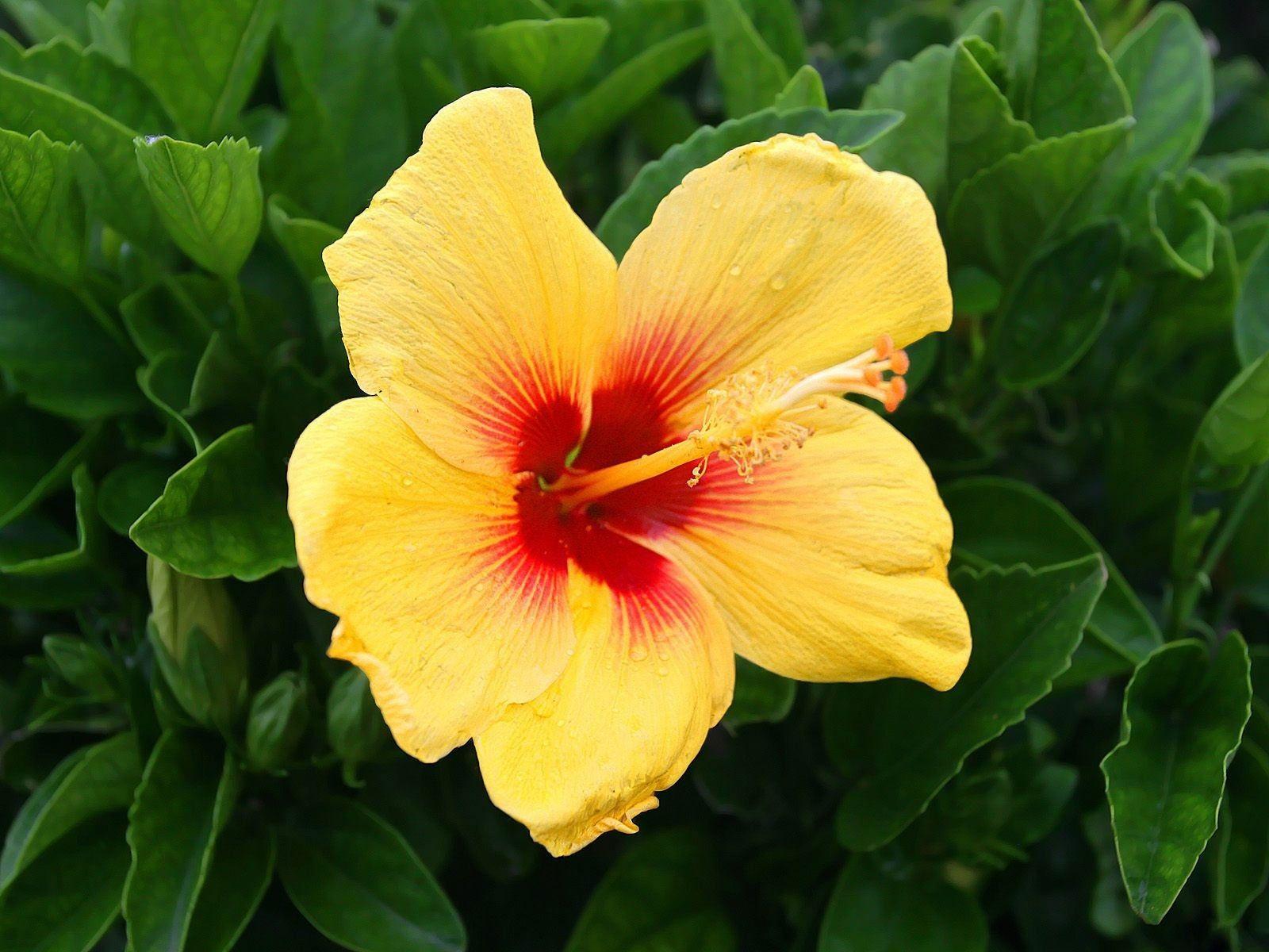 Flor Amarela Aberta 023244a6be620a701a19914a38be6e25 Yellow Hibiscus Jpg 1600 1200 Yellow Hibiscus Hibiscus Plant Plants