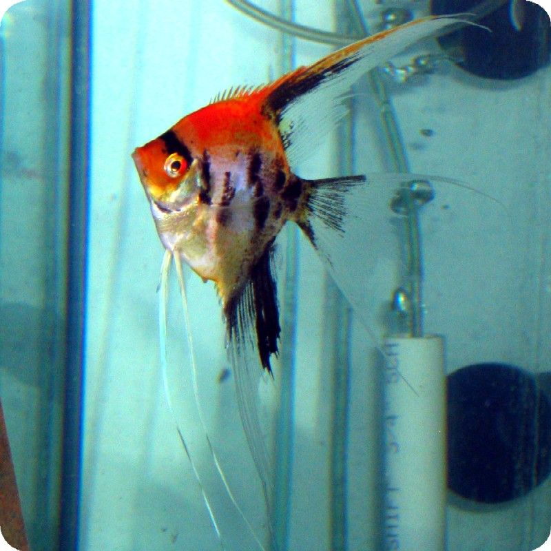Recipe And Tips 8 Angelfish Tank Mates To Accompany Your Angelfish Angel Fish Discus Fish For Sale Fish