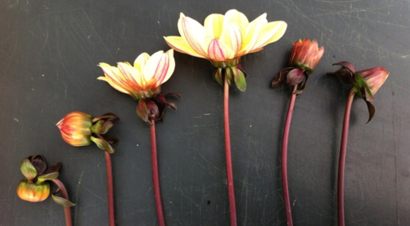 Groeifases bloem