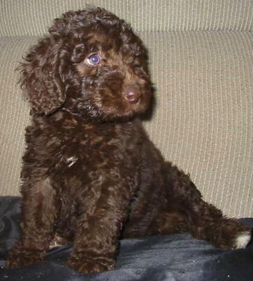 Our next dog mini Austrailian Labradoodle. My parent's