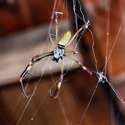 Otra tejedora... #spider #nature