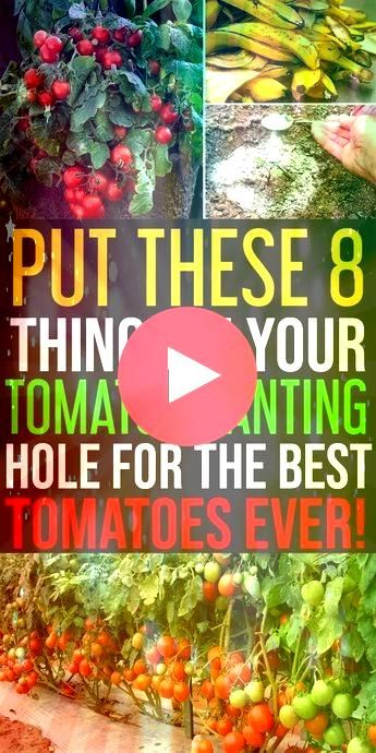 of rushing to a store you can have a bumper harvest of tomatoes 8 Things to Keep in Tomato Planting Hole to Grow Juicy and Sweet Tomatoes Who doesnt love to grow surplus...