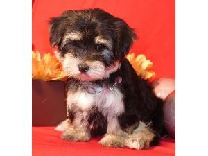 Yorkshire Terrier Puppies For Sale YORKIE PUPPIES FOR