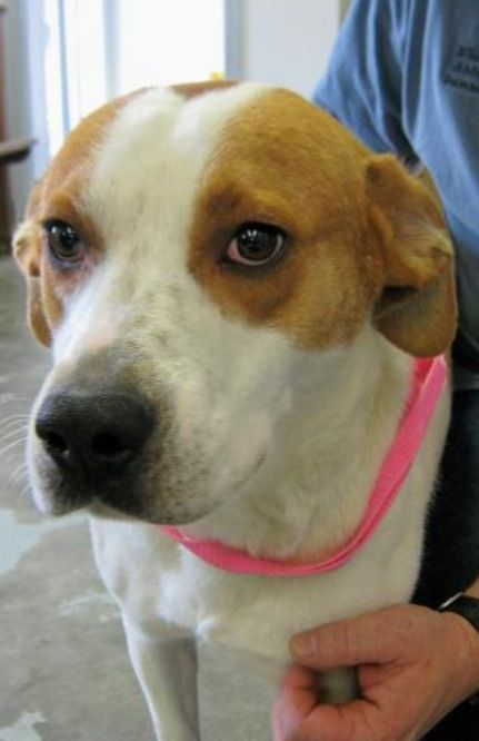 Treeing Walker Coonhound Lab mix M 2 5 years named Morgan in