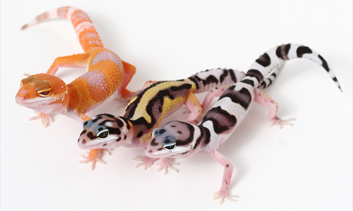 Image result for leopard gecko morphs