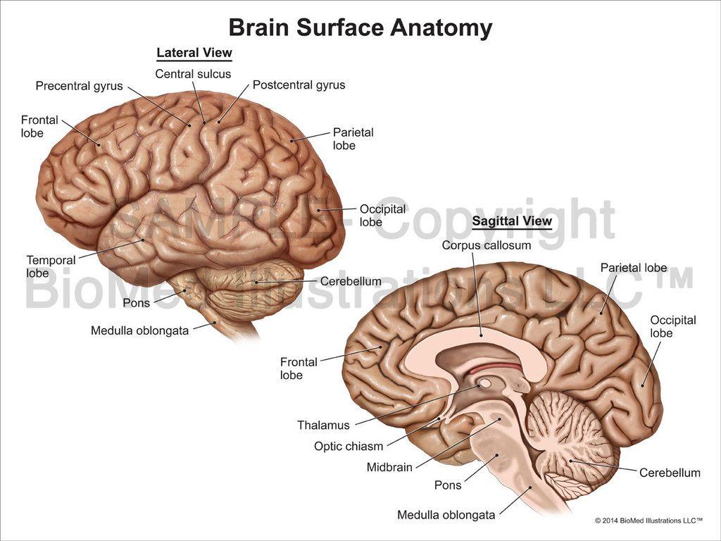 Brain Anatomy Photo Lateral
