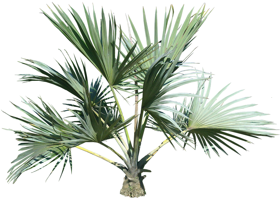 Palm Tree Png Image Plant Pictures Palm Tree Png Tropical Tree