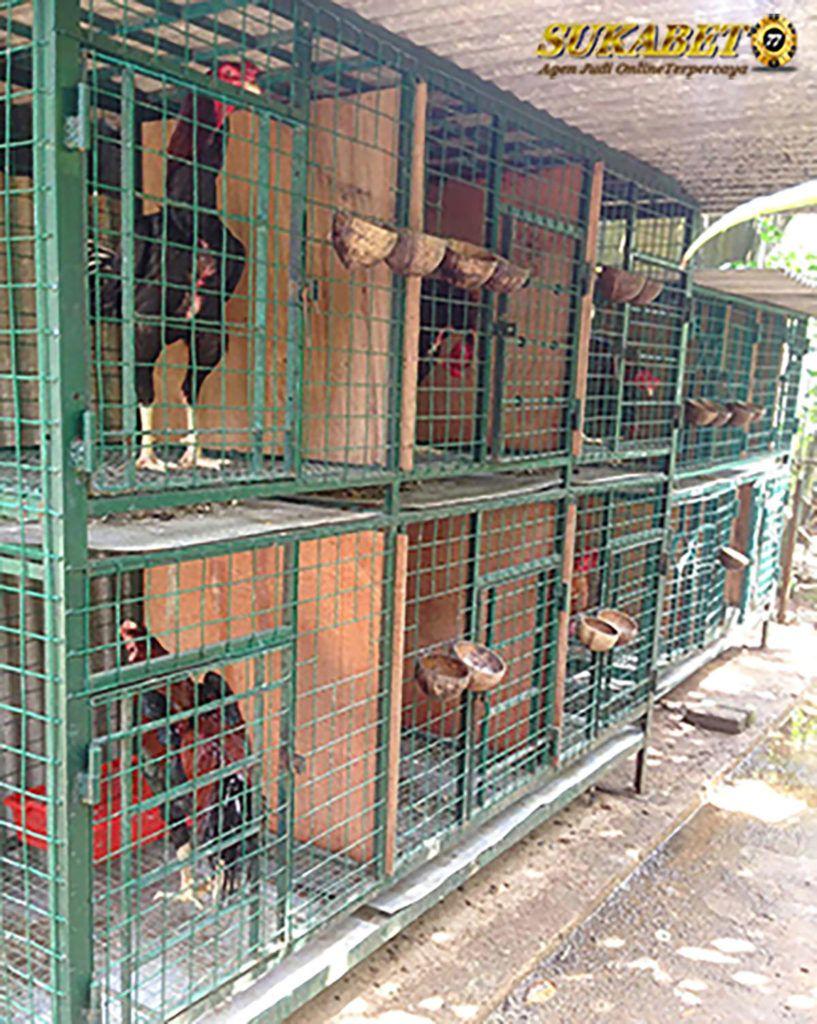 Foto Ayam Siam Yg Bagus 3 Jenis Kandang Ayam Bangkok Untuk Perawatan Sukabet77 Net