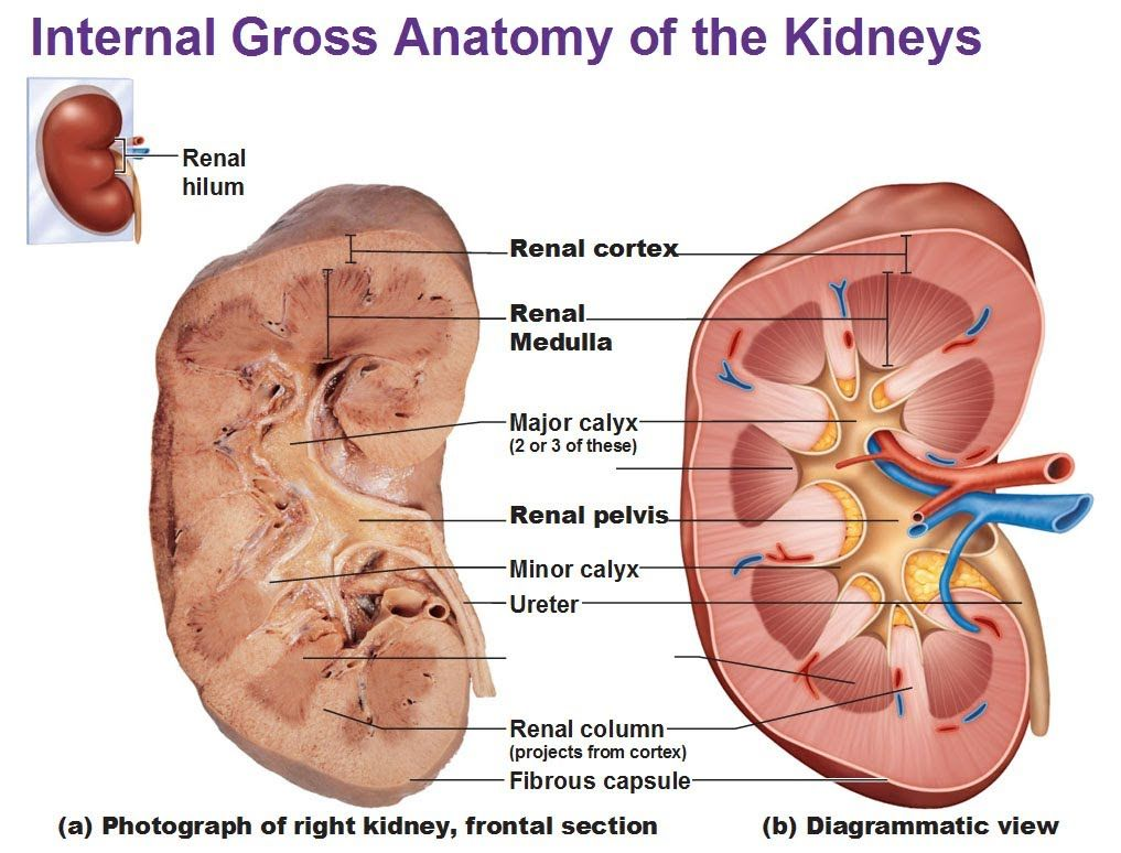 Medical Video Lectures: Renal/Kidney Anatomy & Physiology By ...