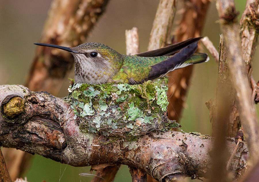 Gallery 2018 Silvana Fair Hummingbird nests, Annas