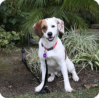 California Meet Jimbo A Young Male Adoptable Englishspringer Beagle Blend In Newportbeach This Bright Ey Unique Dog Breeds Hybrid Dogs Rare Dog Breeds