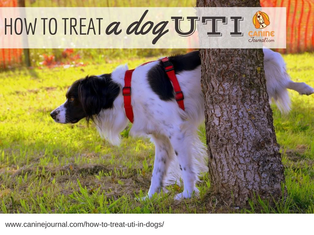 How To Treat Uti In Dogs Home Remedies And Medicine Options Dog Uti Dog Pee Dog Remedies