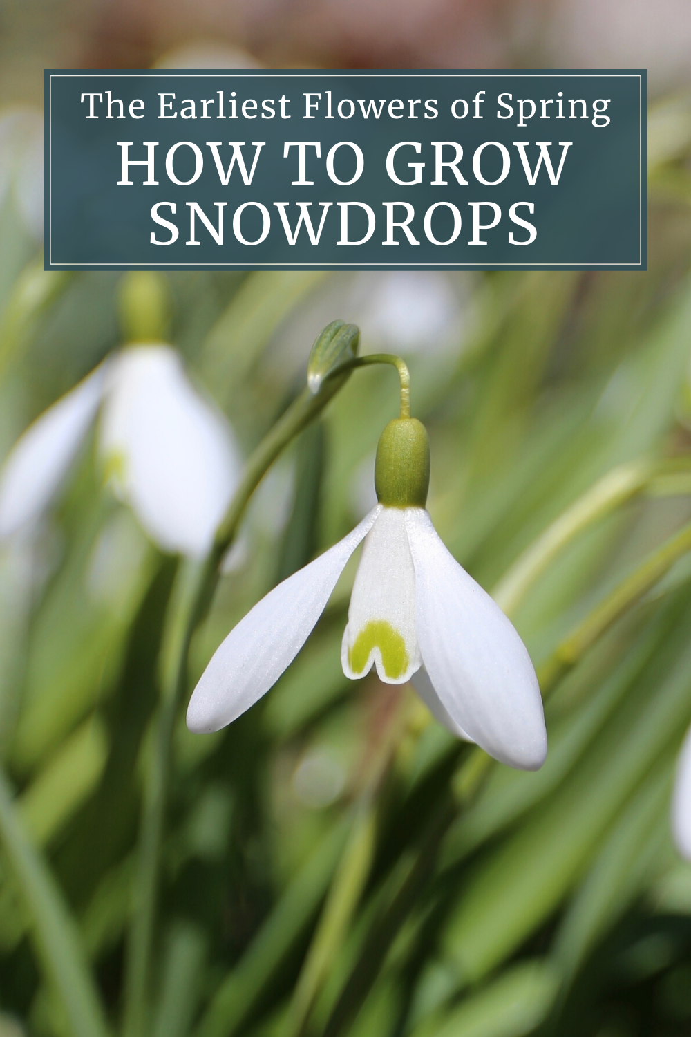 Craving Spring Flowers Grow Snowdrops Longfield Gardens In 2020 Longfield Gardens Spring Bulbs Early Spring Flowers