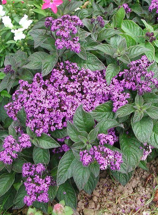 Helliotrope- smells like vanilla   Pond plants, Flowers ...