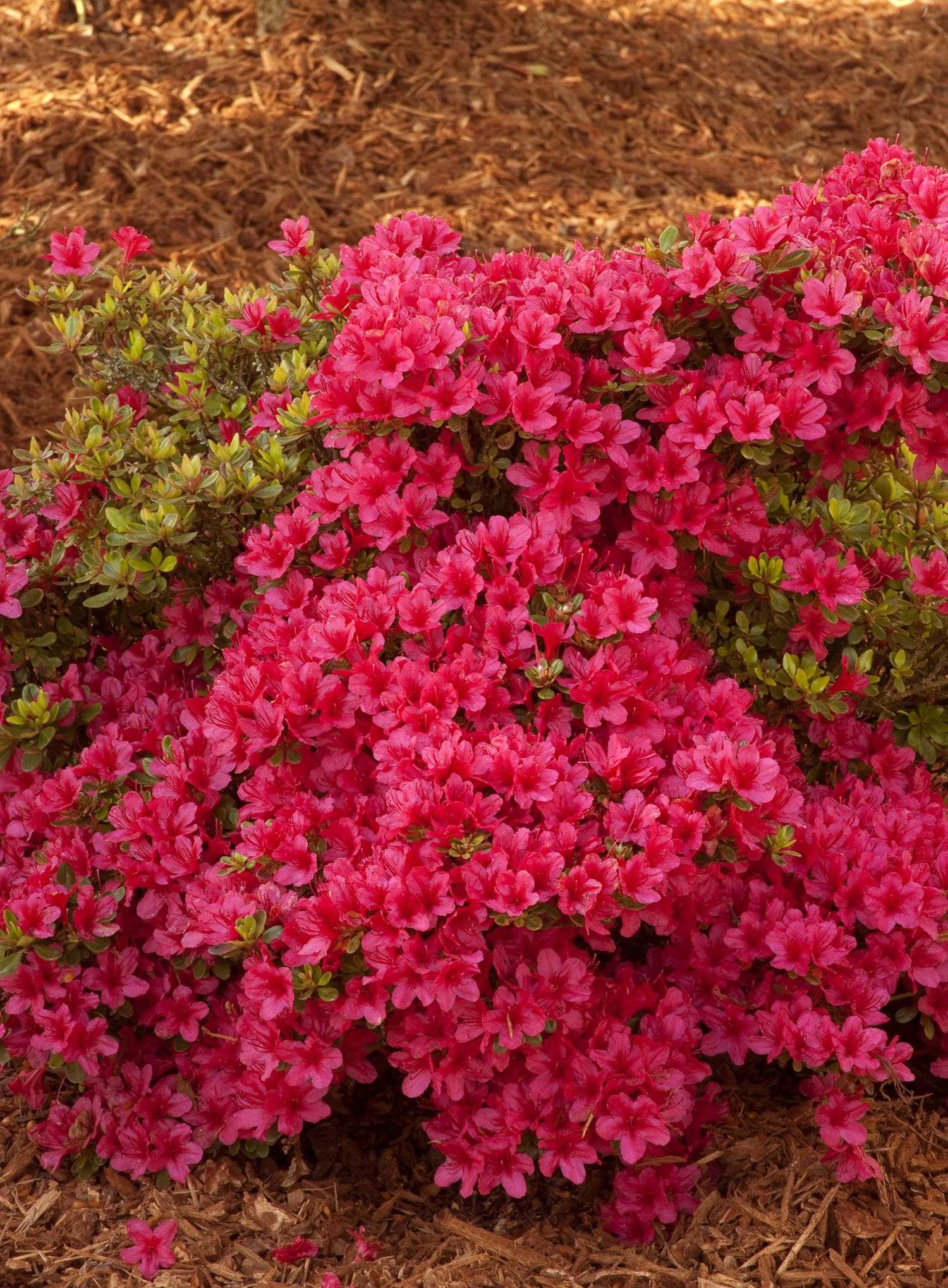 Rhododendron Hino Crimson Hino Crimson Azalea 2 4 Tall X 3 5