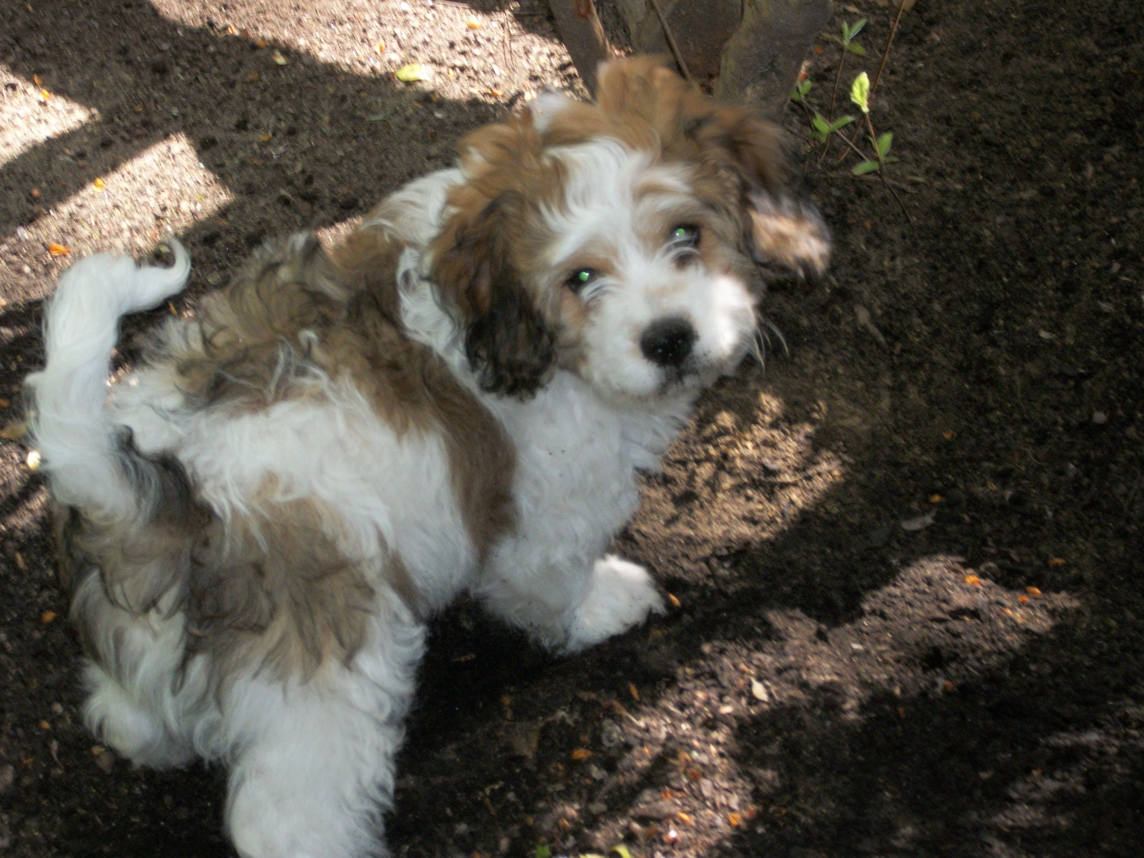Sable And White Cavachon This Is What Baxie Looked Like When He