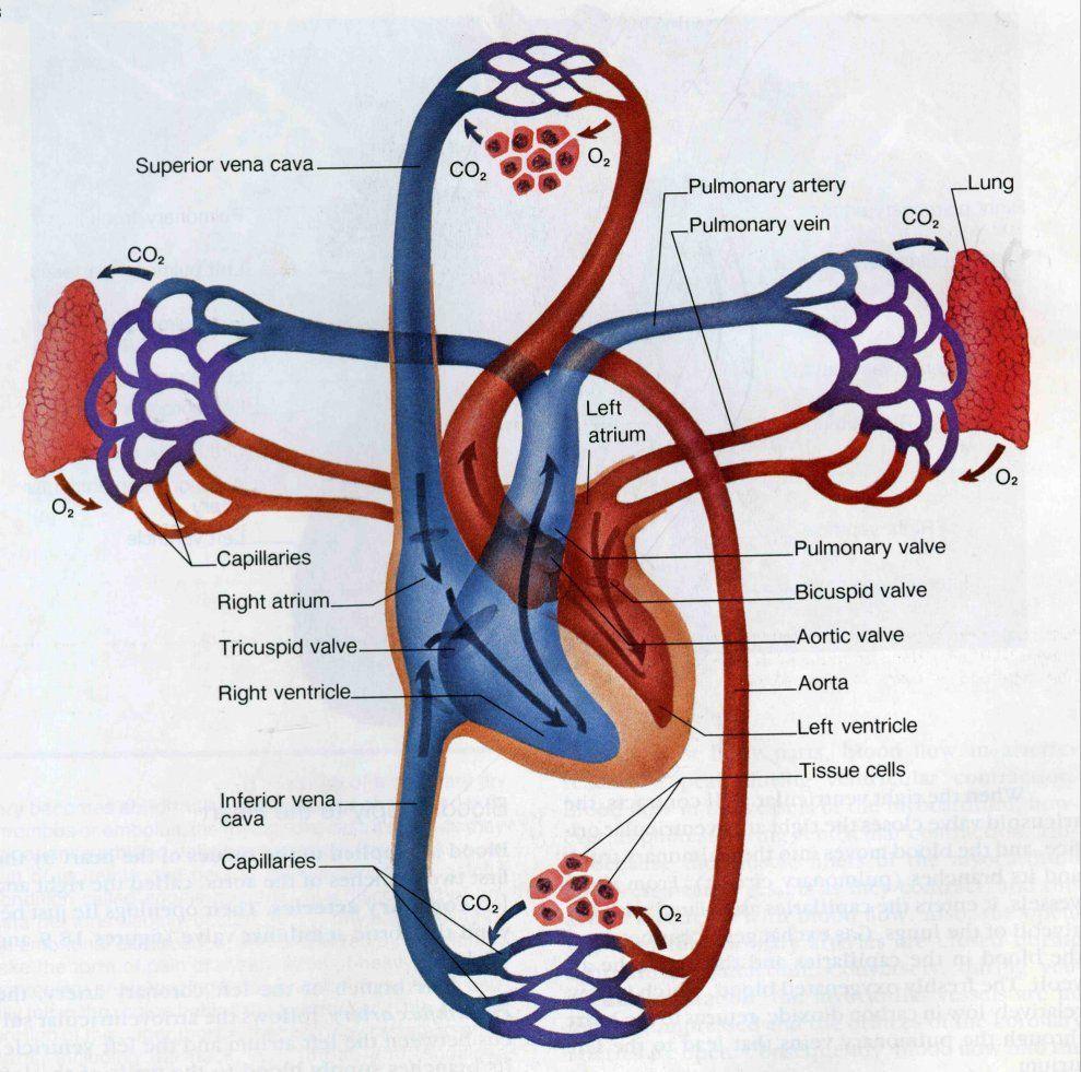 Coronary Circulation Pathway Showing Pulmonary And Systemic