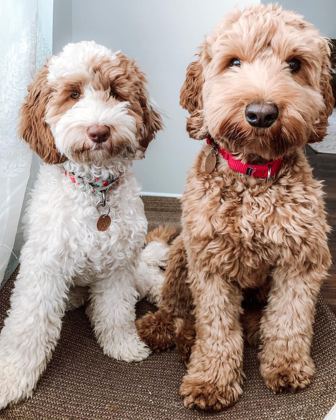 Pin By Shirley Ann On Animals Labradoodle Labradoodle Mini