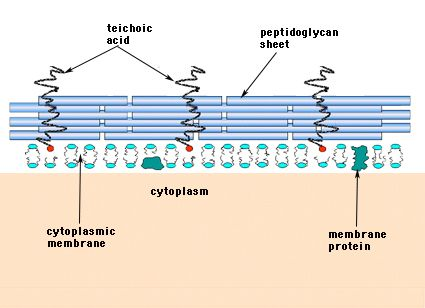 structure and function of bacterial cells structure and on cell wall function id=34261