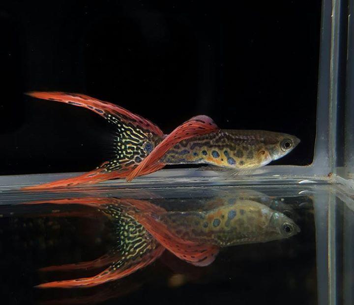 What A Beautiful Male Doublesword Guppy Guppy Fish Aquarium
