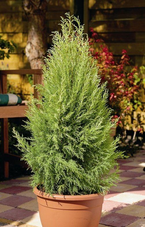 140mm Wilma Lemon Scented Conifer Cupressus macrocarpa