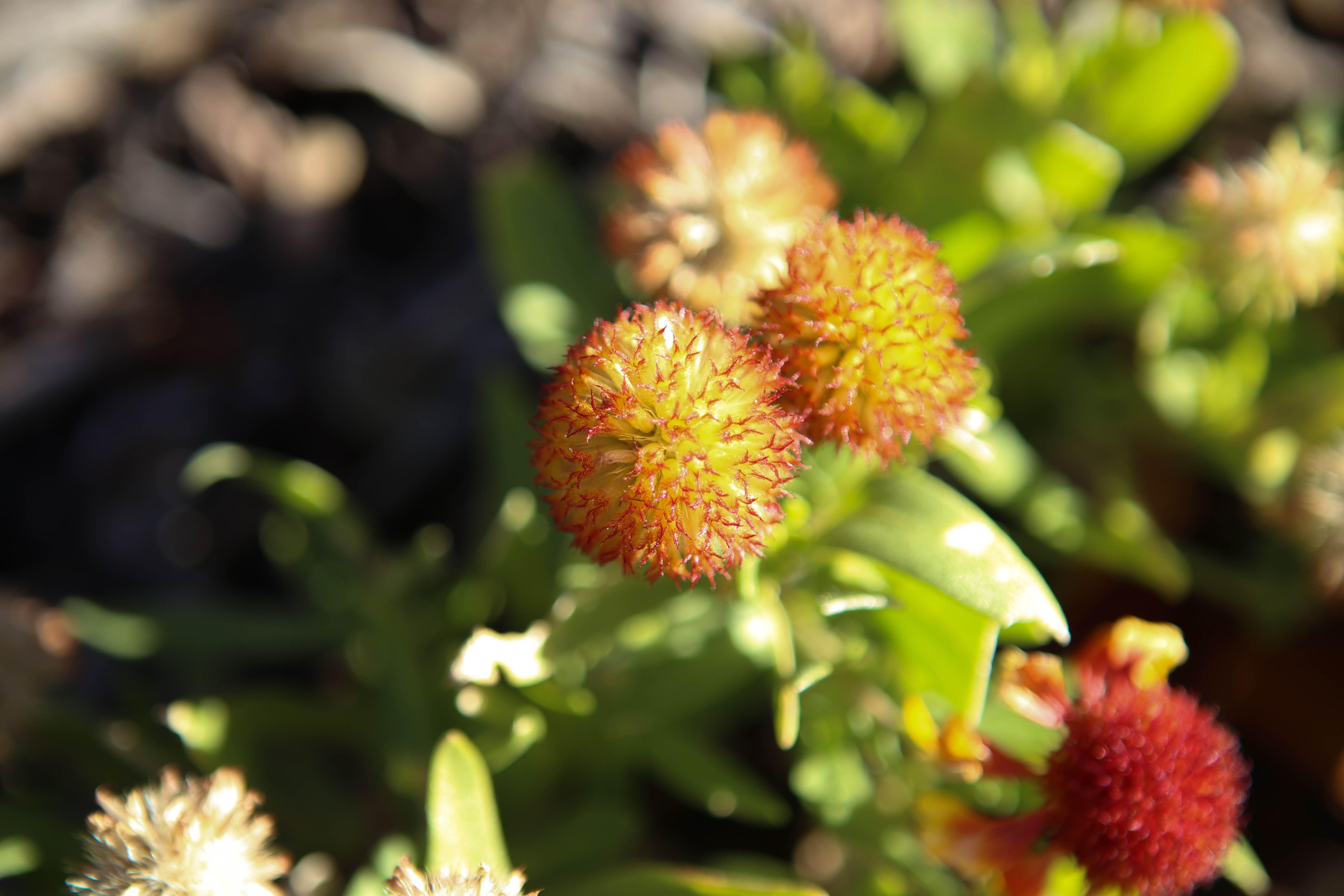 Arizona Sun Blanket Flower Seed Head Blooms June to