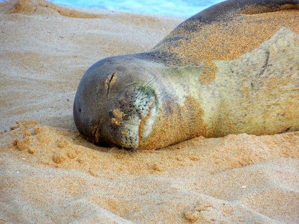 Monk seal Kauai, Poipu beach