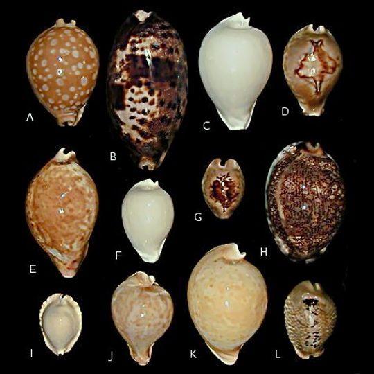 Photo Of Selected Cowries Sea Shells Shells Seashell Identification