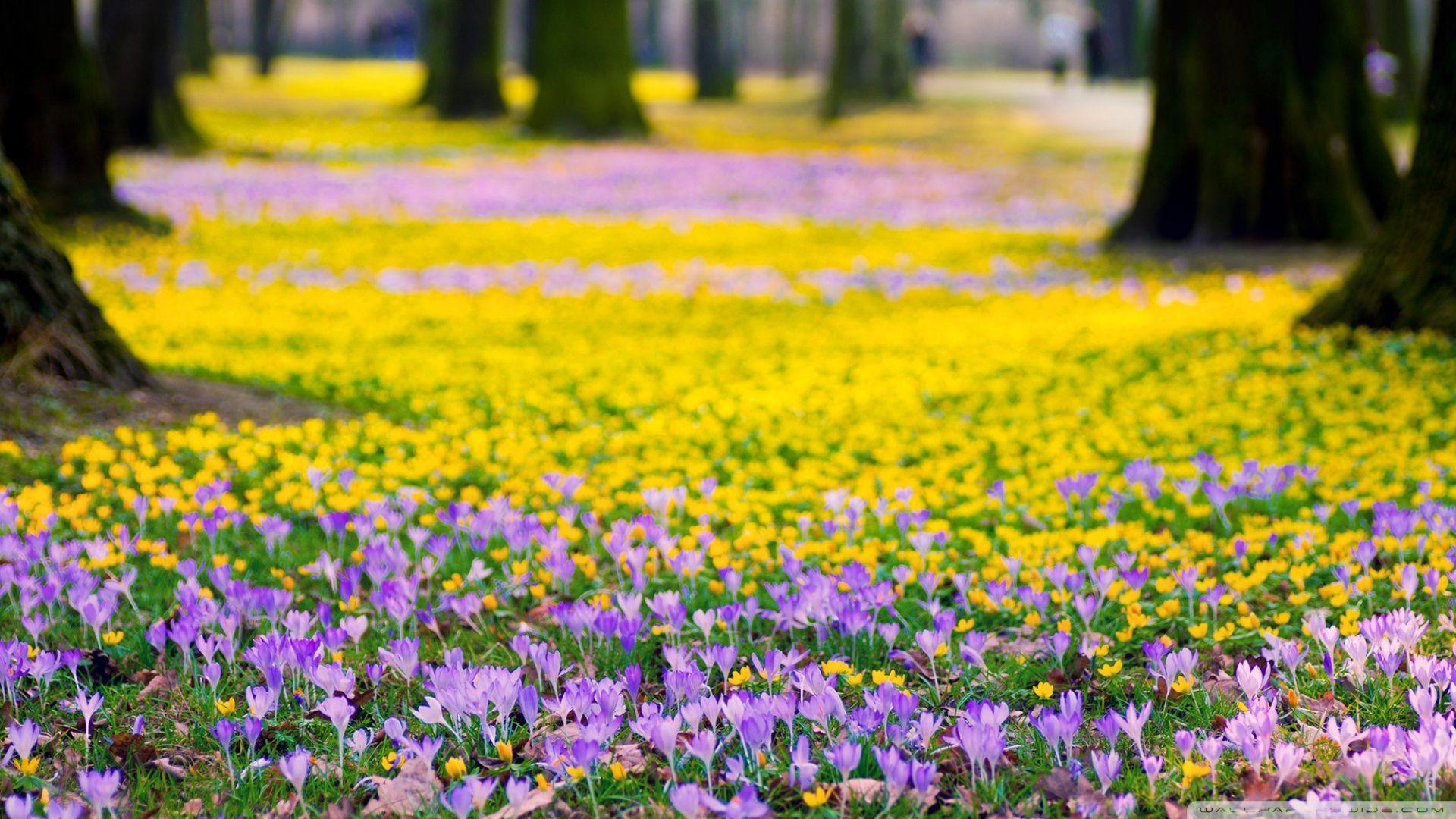 Spring Flowers Meadow Hd Desktop Wallpaper Widescreen High Crocus Flower Blue Flower Wallpaper Crocus