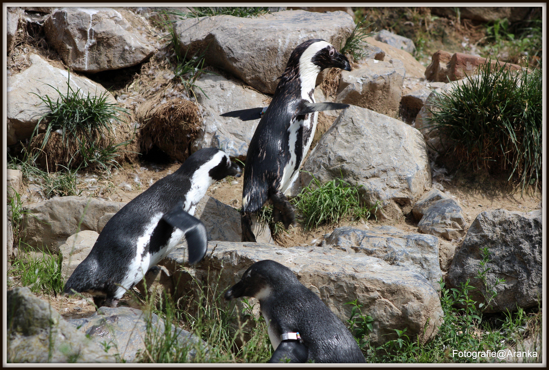 Vliegende pinguin