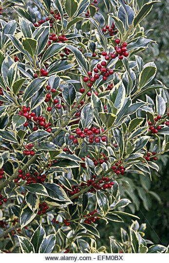 Ilex Aquifolium Pyramidalis Aureomarginata Bessen Aug Tem Maart
