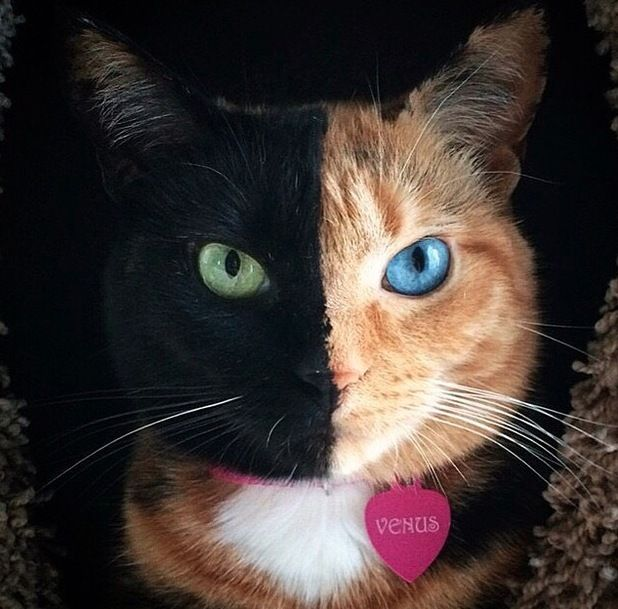 Venus Perhaps The Queen Of The Cat Internet Venus The Chimera - Venus cat two faces making twice adorable