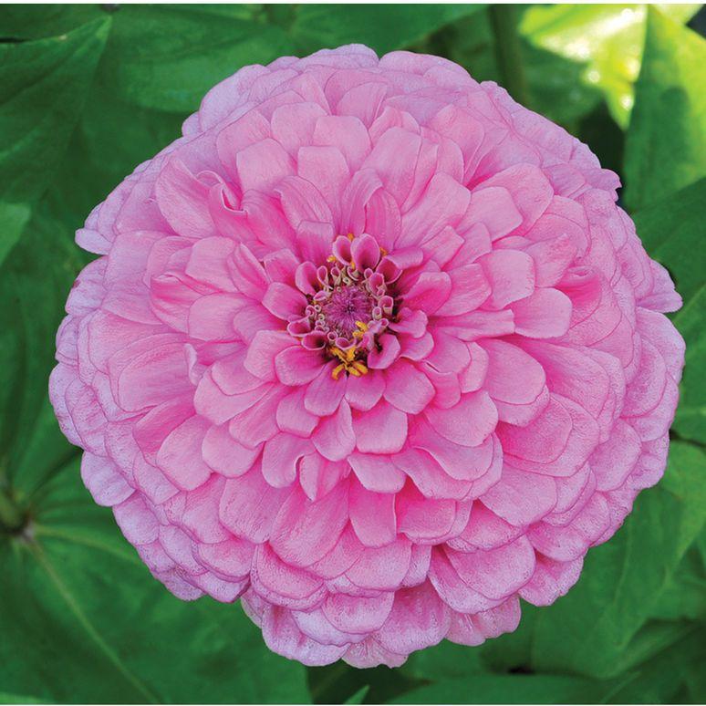 Giant Dahlia Flowered Bright Pink Zinnia Johnny S Selected Seeds Zinnias Flower Seeds Dahlia Flower