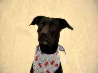 Adoption Pitbull Mix Animal Control Animal Shelter